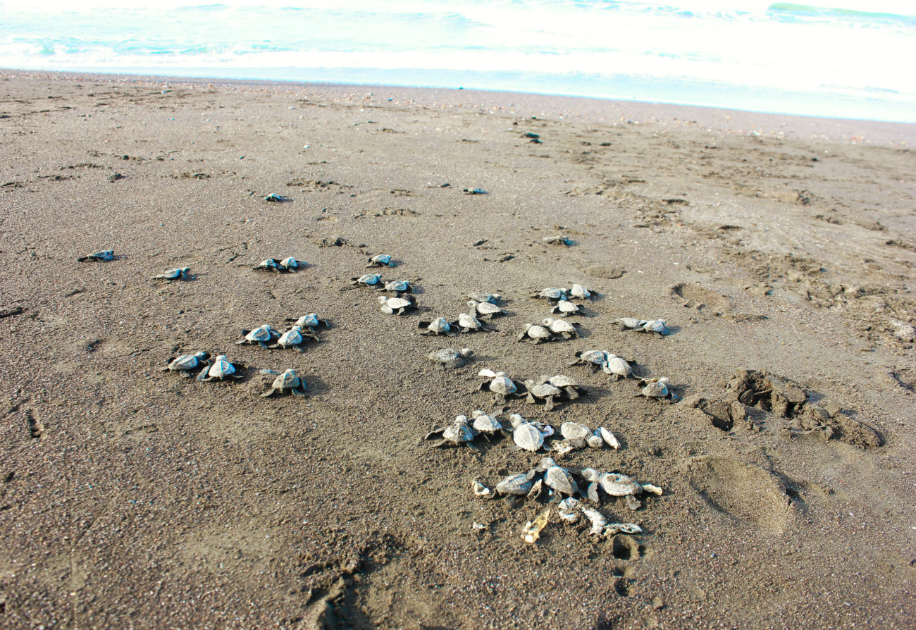 A Thousand Turtles Nesting An Arribada